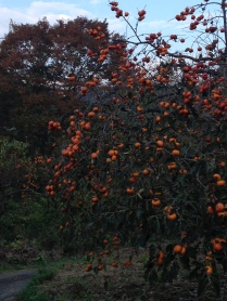 More beautiful persimmons hiking through the backroads