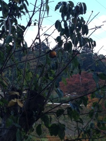This persimmon tree had been mostly chainsawed away but it still had a single fruit lingering on it's brances.